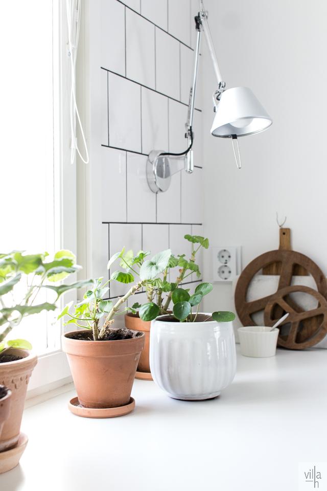 kilpipiilea, pelargonia, viherkasvit, keittiö, interior