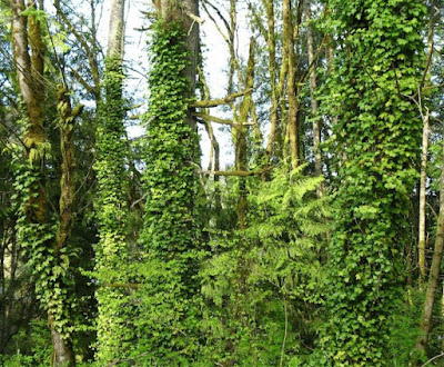 A large grove of tall trees. All have ivy wrapped around their trunks, going up 25 feet.