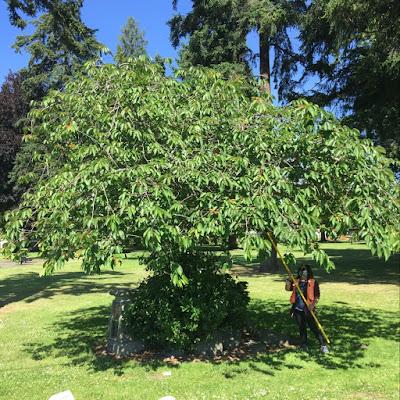 Woman hanging trap in large fruit tree