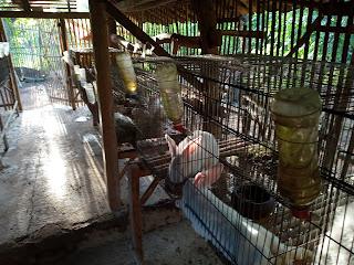 Peluang Bisnis Ternak Kelinci