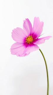 wallpaper hd bunga background putih ungu