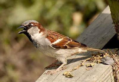 Burung Blackthroat atau Burung Berdasi