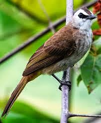 Foto Burung Trucukan 2014 Daftar Harga Terbaru