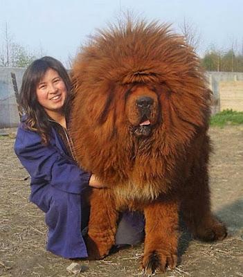 19. À première vue, cela pourrait ressembler au Roi Lion, mais ce n'est en réalité qu'un mastiff tibétain géant. (© Gar1986 / Reddit)