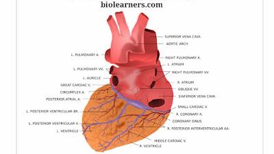 Cardiac cycle | PQRST rhythm | Phases of cardiac cycle | Heart and heart beats