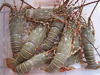 Beromzet Ratusan Juta saat Pandemi, Budidaya Lobster Air Tawar banyak Diminati Masyarakat