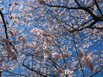 Prunus Accolade Japanese Flowering Cherry blooms at Mount Pleasant Cemetery by garden muses--not another Toronto gardening blog