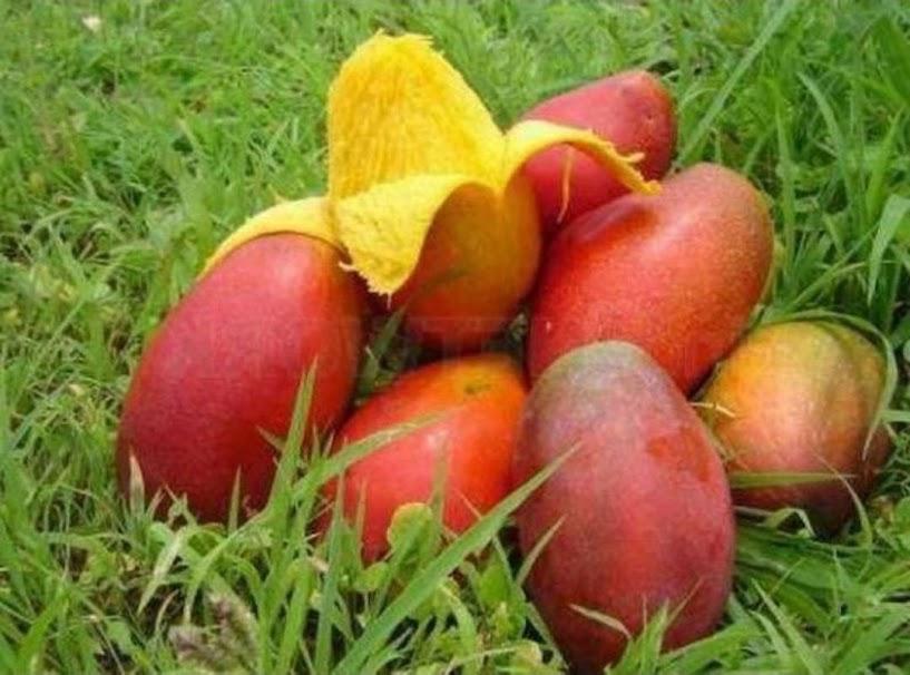 Bibit tanaman mangga king yuen super original Bukittinggi