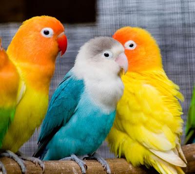 cara membedakan lovebird paud balibu