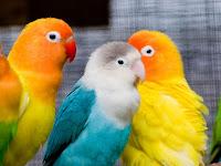 Cara Membedakan Lovebird PAUD/ Balibu Dan Lovebird Dewasa