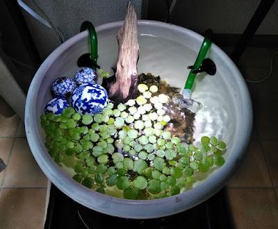 睡蓮鉢に導入された余ったドワーフフロッグ・ピット