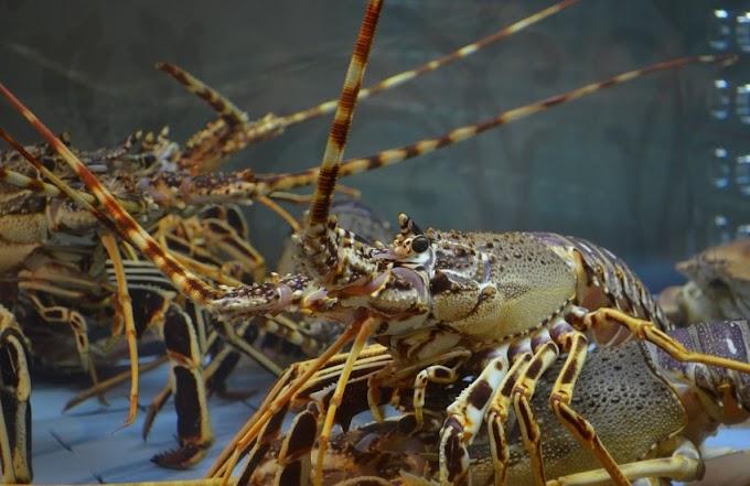 Panduan Lengkap Cara Budidaya Lobster Air Tawar Bagi Pemula