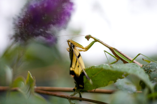 Yellow butterflying being eaten by a hungry praying mantis