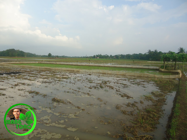 Tempat penyemaian padi harus terbuka, dekat dengan tempat air dan pembuatan pagar pada penyemaian padi agar terhindar dari serangan tikus, bebek.