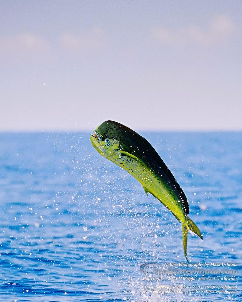Mahi Mahi Fish - Pets