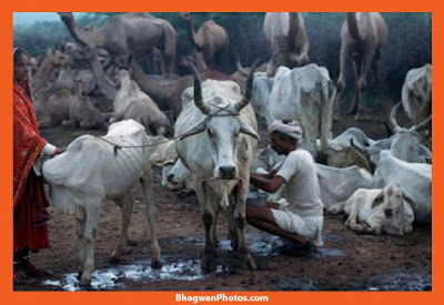 Gau Mata Full Hd Image Download