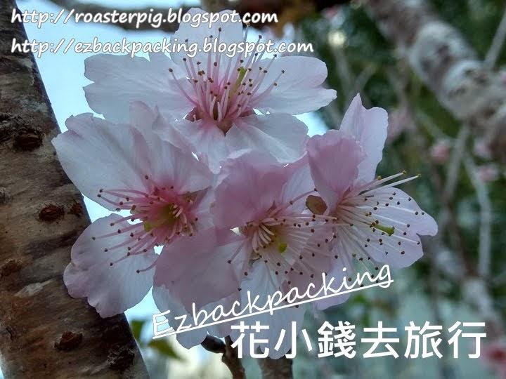 沙田安景街公園櫻花: 香港賞櫻熱點2021