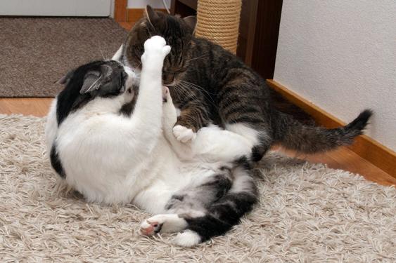 Kissan tunne-elämä, aggressio