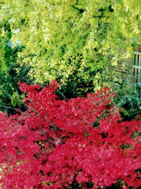 Maple in full bloom
