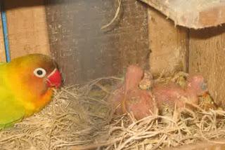 Burung Lovebird - Kriteria Kotak Glodok Dan Bahan Sarang Yang Sempurna Untuk Penangkaran Burung Lovebird -  Penagkaran Burung Lovebird