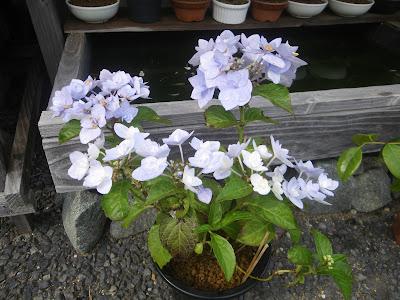 アジサイ(紫陽花) 満開