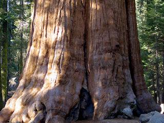 اضخم شجرة فى العالم