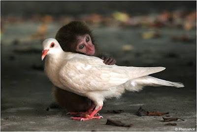 Tierna imagen de paloma y monito