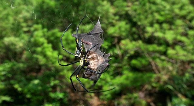tarantula mangsa kelelawar