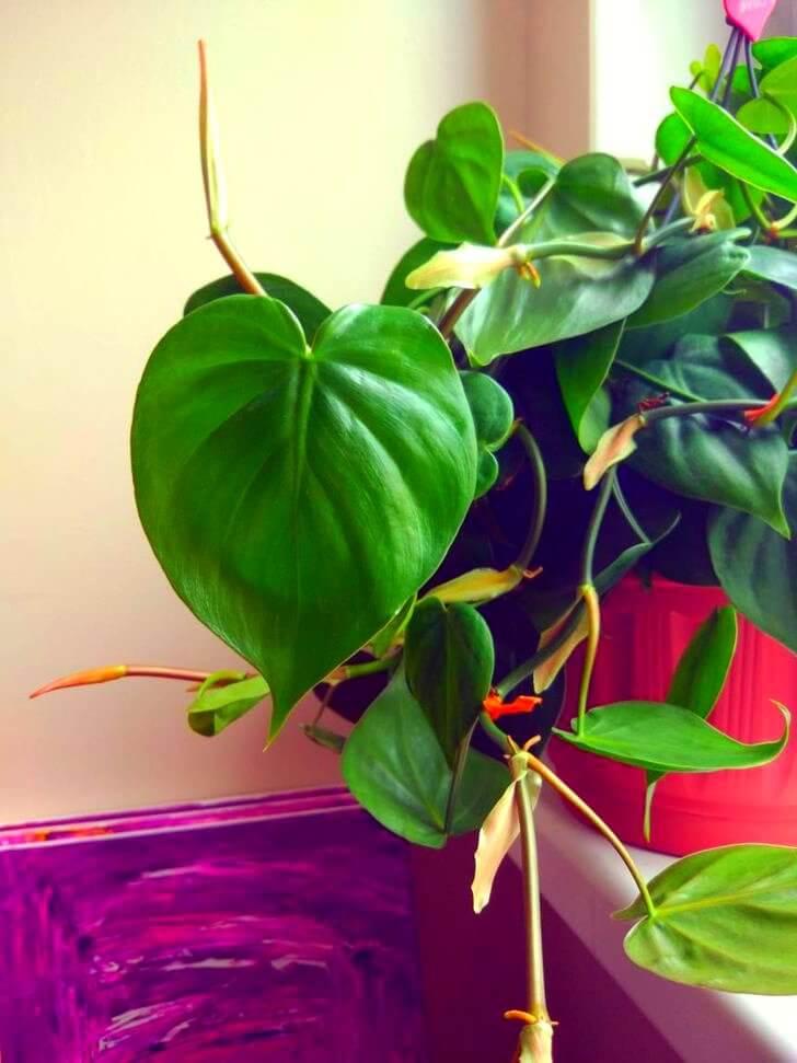 6. Heartleaf Philodendron
