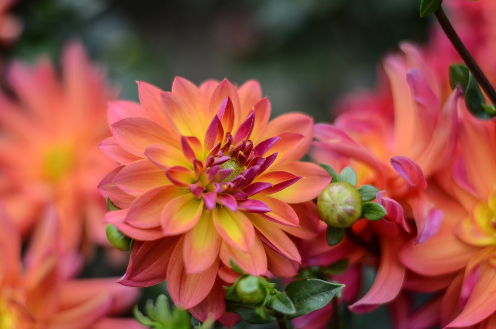 blossom-dahlia, flower wallpaper images