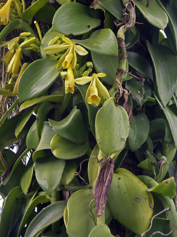 Vanilla Plant - Characteristics, Description, Morphology And Classification