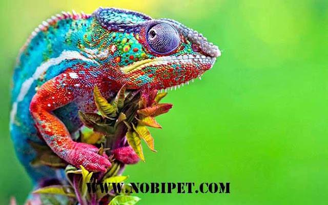 ban-chameleon-tac-ke-hoa-doi-mau-da-nang-bo-sat-gia-re
