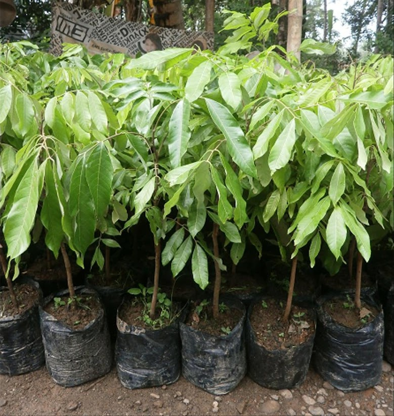 Bibit tanaman kelengkeng new kristal hasil stek okulasi cepat berbuah Jawa Tengah