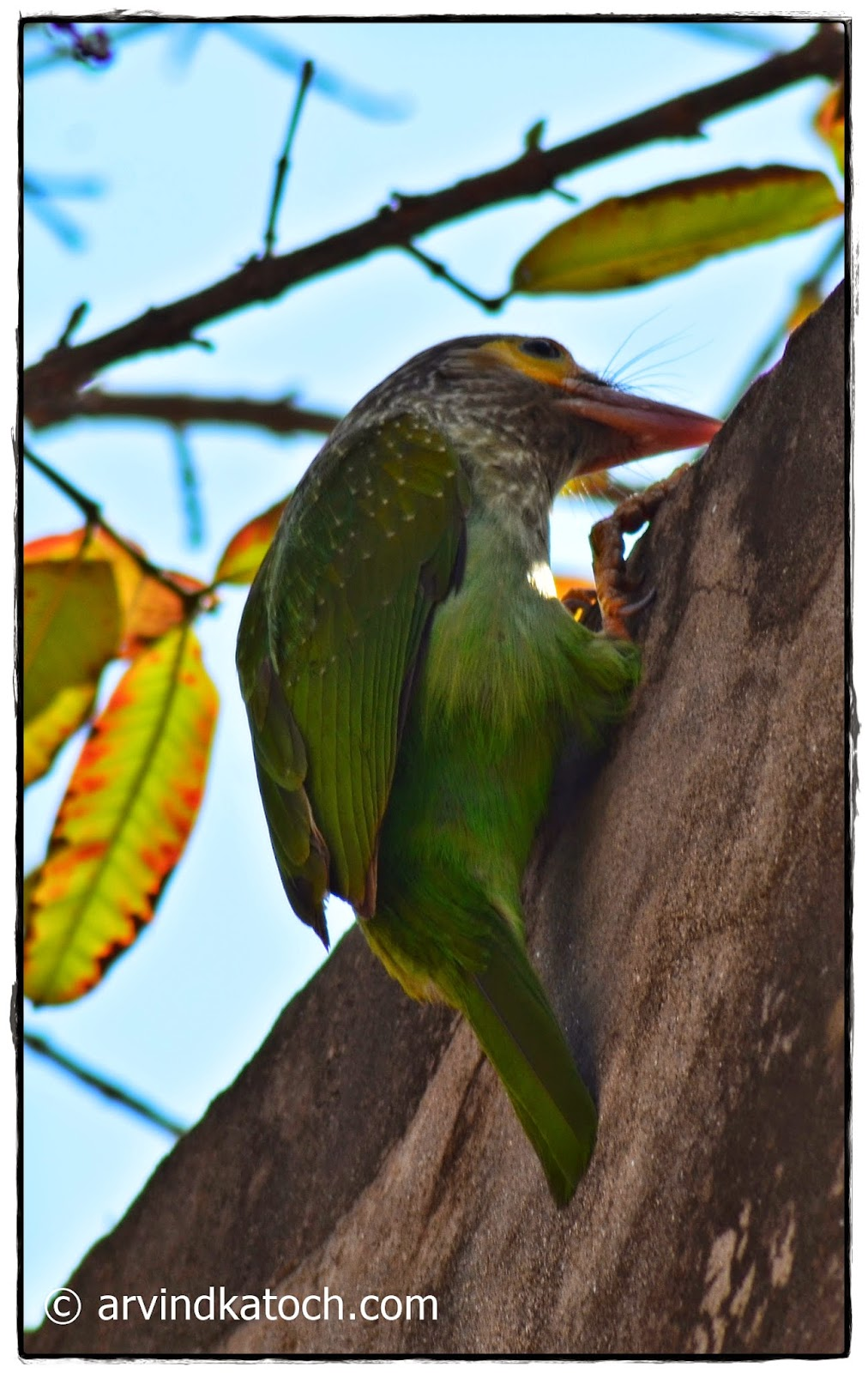 Brown-headed Barbet, Wall