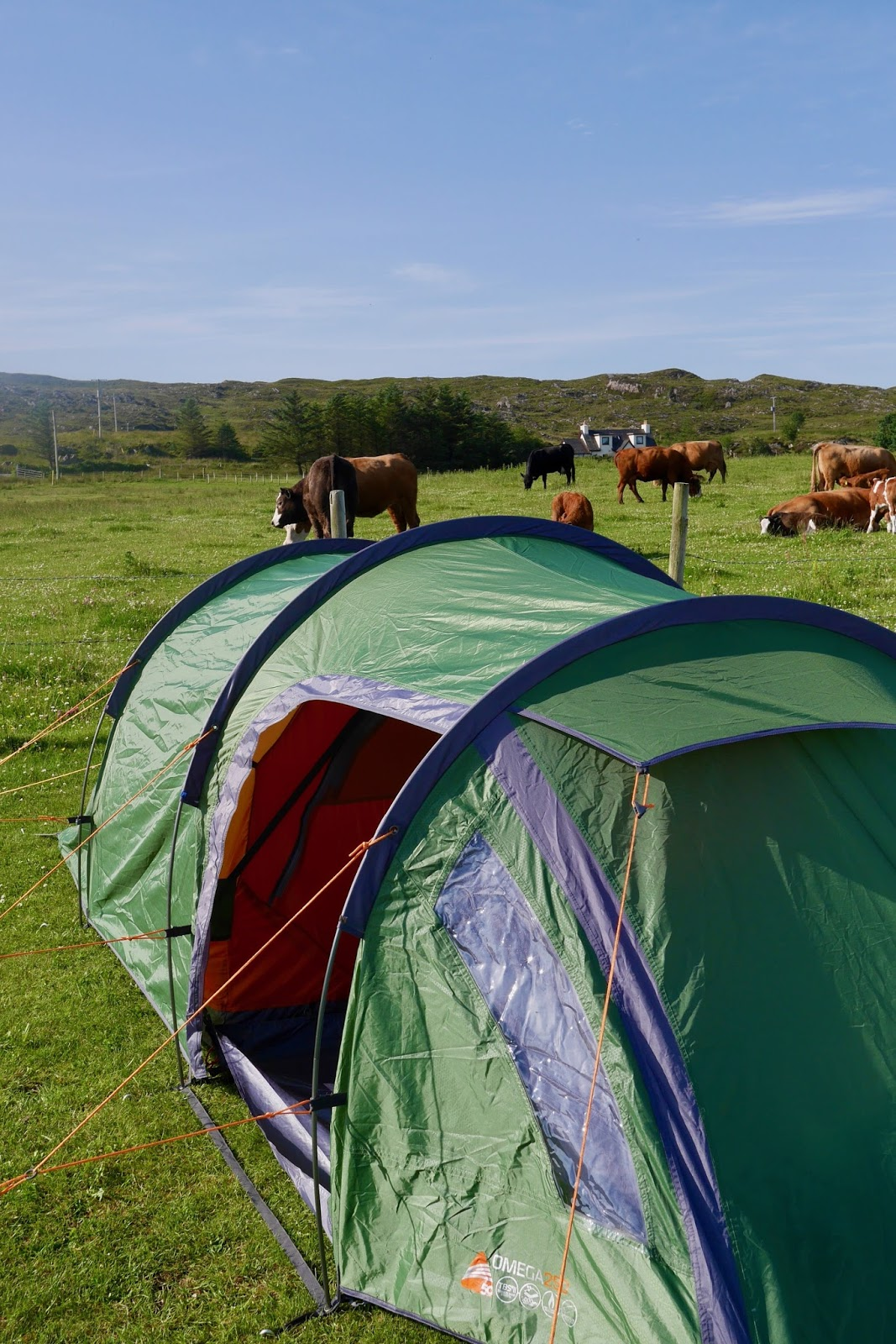 Campsite in Arisaig where the cows are almost in your tent, ww.calmctravels.com