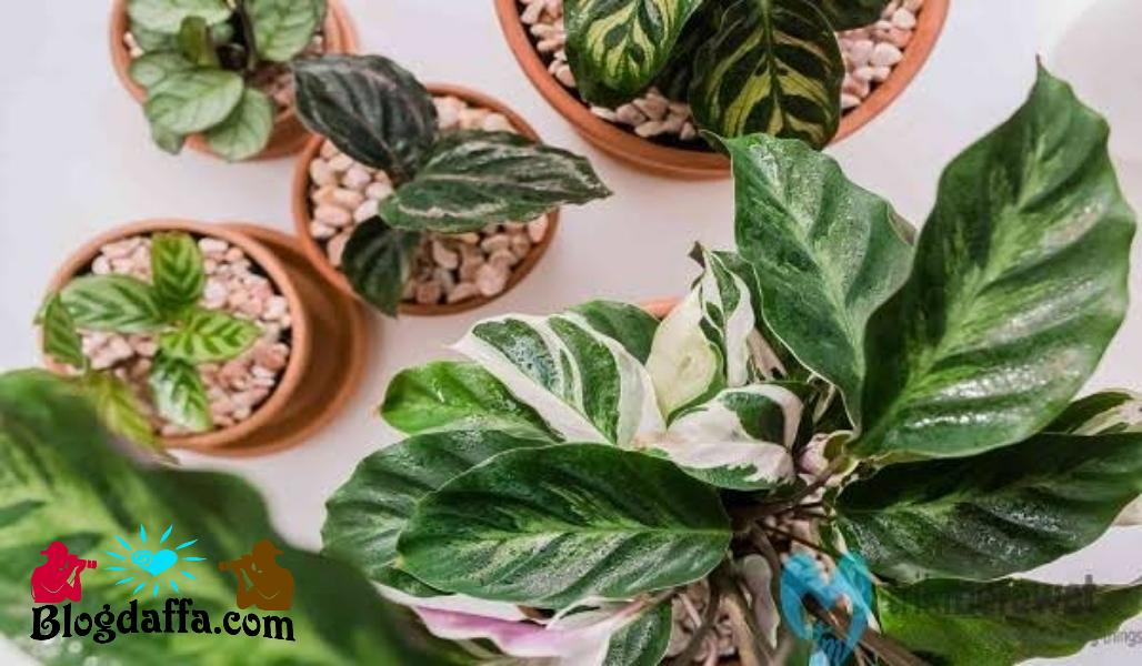 Cara merawat tanaman hias Calathea