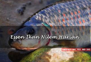 Essen Ikan Nilem Harian