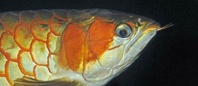Penyakit Ikan Arwana dan Cara Mengobatinya Secara Alami