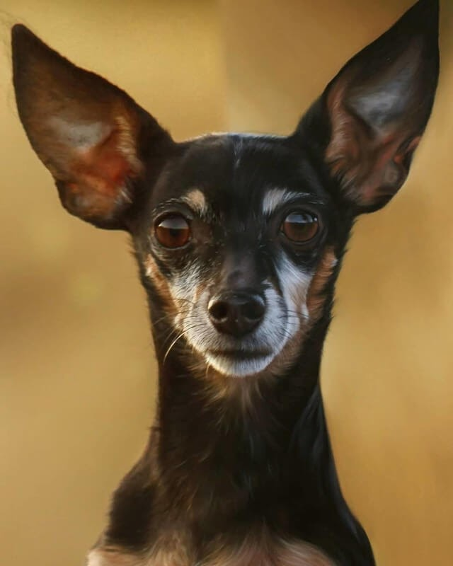08-Black-Chihuahua-10-Svea-T-Animal-Portrait-Drawings-and-an-Eye-www-designstack-co