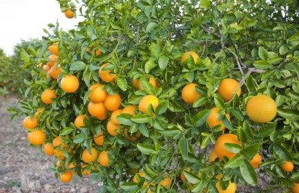 http://tipspetani.blogspot.com/2016/11/pedoman-cara-memupuk-tanaman-jeruk-yang.html