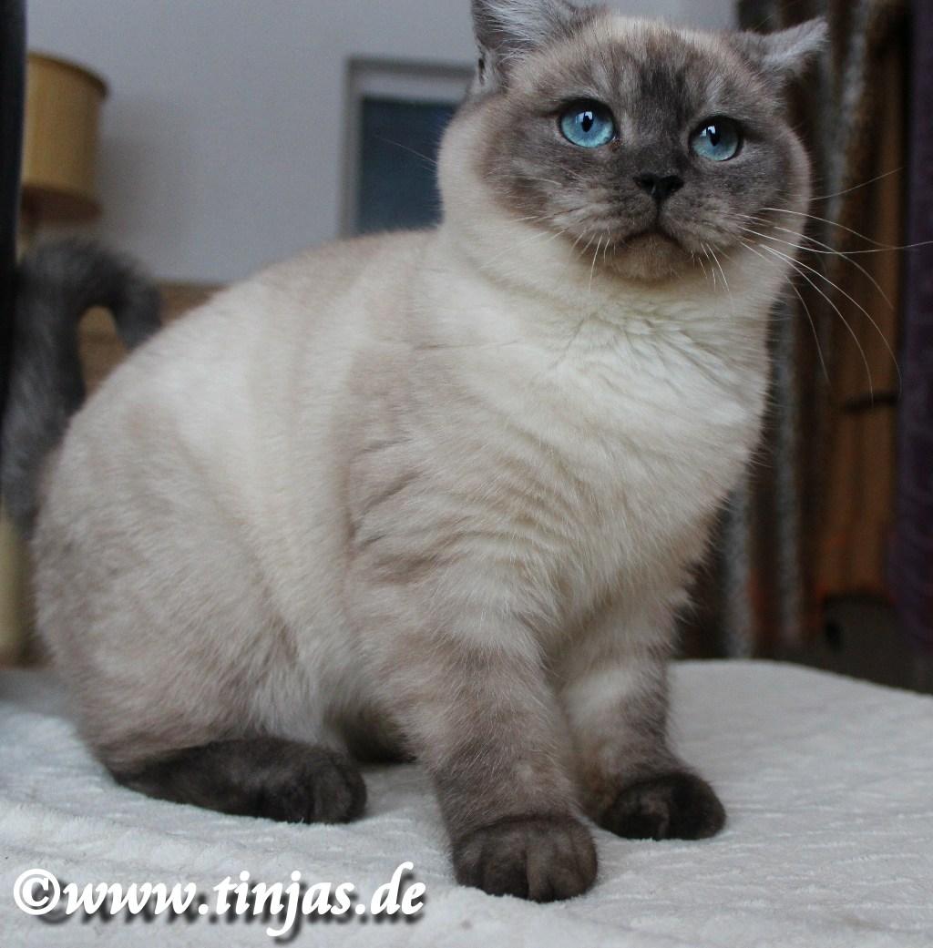 Britisch Kurzhaar Kater in seal smoke point mit dunkel blauen Augen