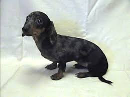 scared Dachshund dog breed
