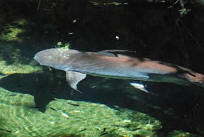 Kumpulan Gambar Ikan Genghis Khan atau Paroon Shark di kolam
