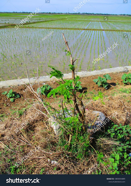 https://www.shutterstock.com/image-photo/irrigation-channels-agricultural-industry-producing-rice-1883094889