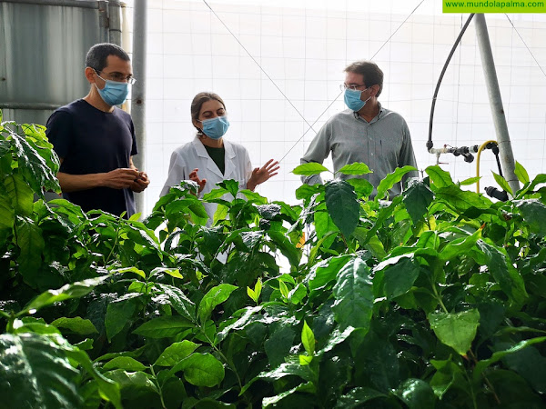El Cabildo ultima los trabajos para el sello de garantía del mojo palmero y promueve el cultivo del café