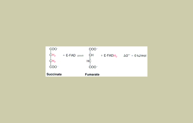 Suksinat Dehidrogenase
