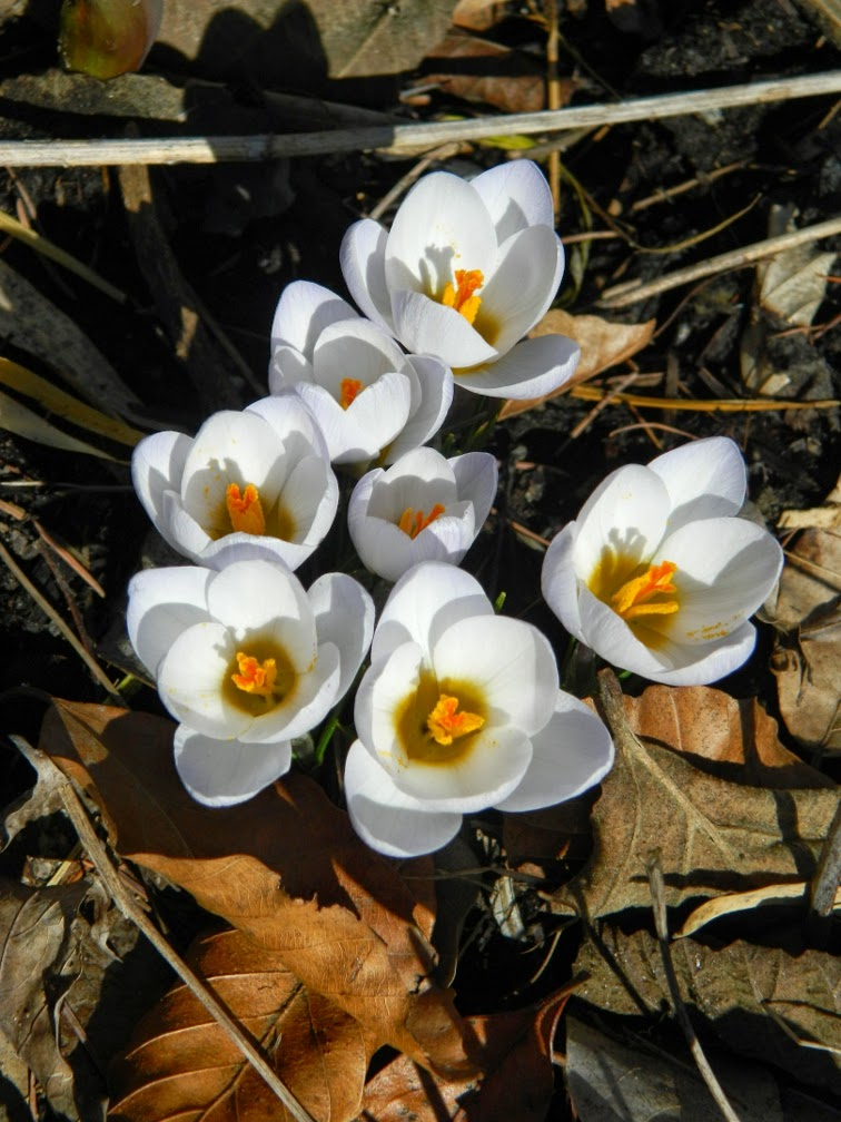 White crocus spring blooms Toronto Botanical Garden by garden muses-not another Toronto gardening blog
