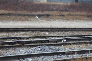 Buntings On The Tracks.