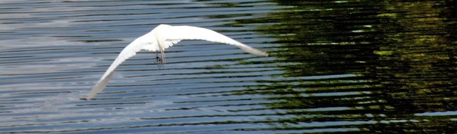 White Egret volando sobre un canal