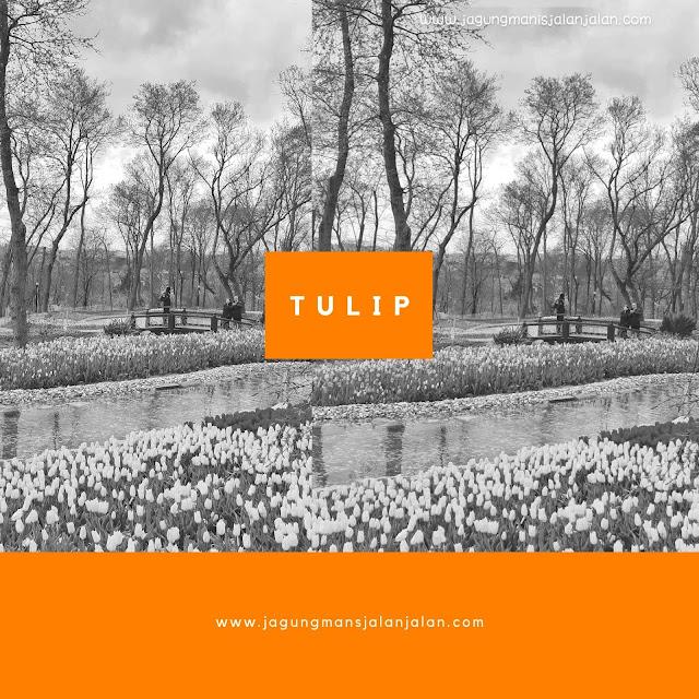 Tahukah Kamu Kalau Bunga Tulip Asalnya Dari Turki?